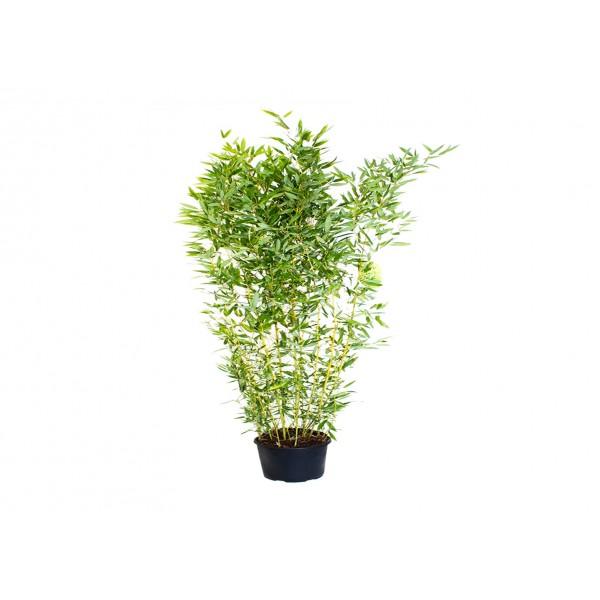 Bamboo - 'Spectabilis' Golden - 200/250 - x1