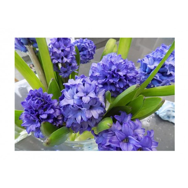 Hyacinth Deep Blue x3