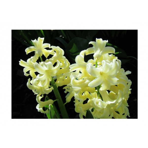 Hyacinth City Harlow Yellow x3
