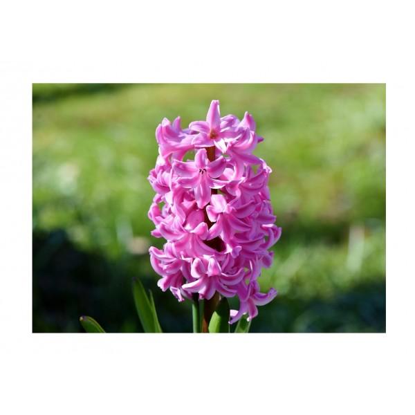 Hyacinth Lilac Pink x3