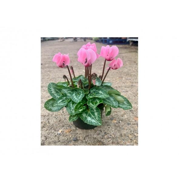Cyclamen - Light Pink