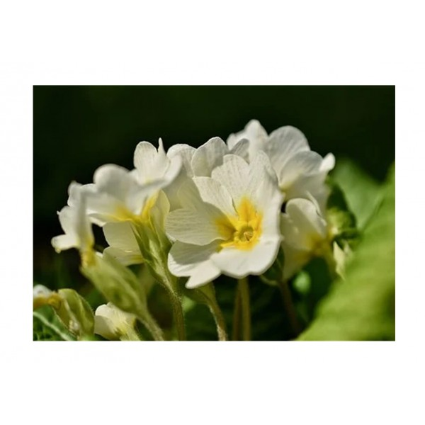 Cultivated Primrose Cottage Cream Special Offer 3 for £3
