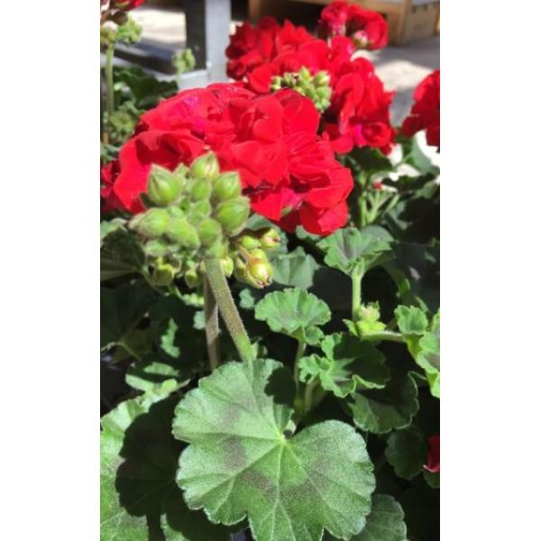 Geranium plant - upright - Red - x1