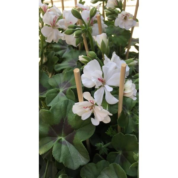 Geranium plant - upright - Light Pink - x1