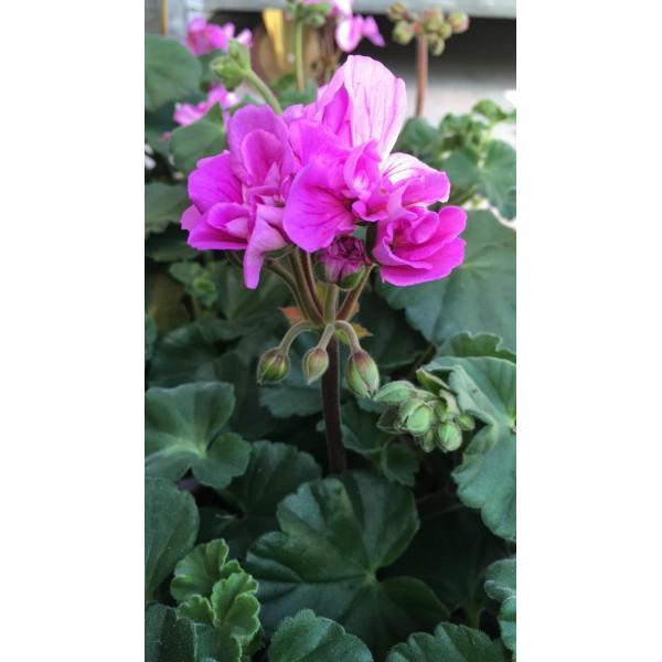 Geranium plant - upright - Lilac - x1