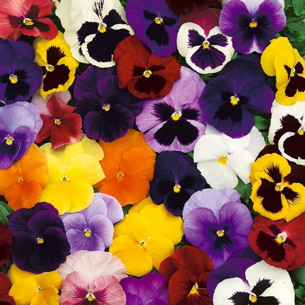 Pansy (Autumn/Winter Pack 6)