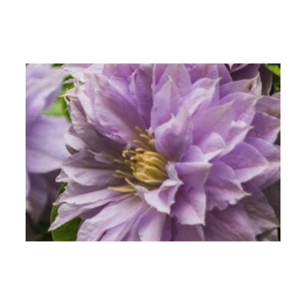 Clematis- Climber - Belle of Woking - x1