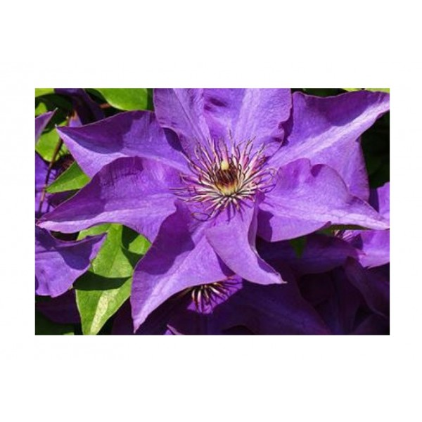 Clematis - Climber - The President - x1