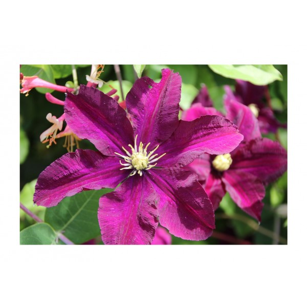 Clematis - Climber - Vivienne Beth Currie - x1