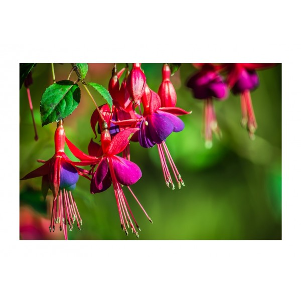 Climber - Fuchsia Lady Boothby - x1
