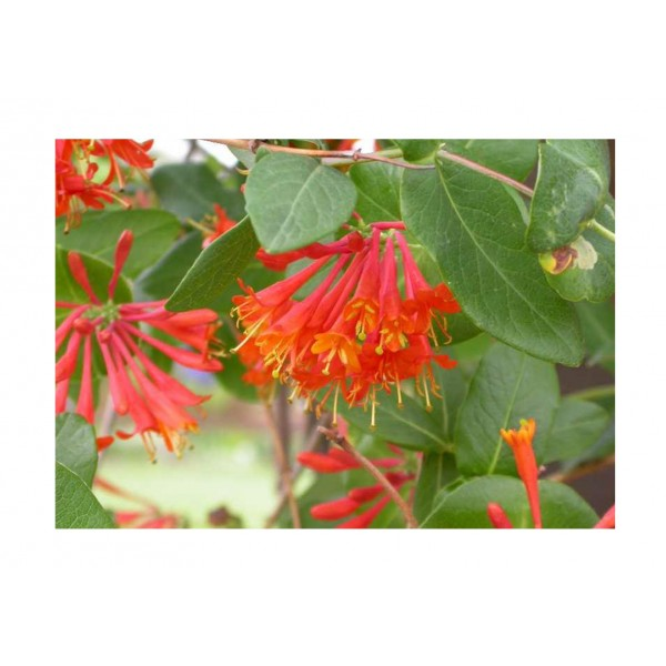 Honeysuckle plant - Lonicera - Gold Flame - x1