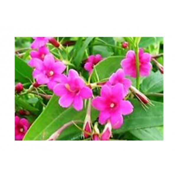 Jasmine - Climber - Beesianum x1
