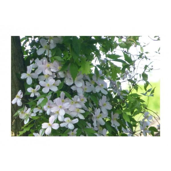 Clematis - Climber - Montana Grandiflora - x1