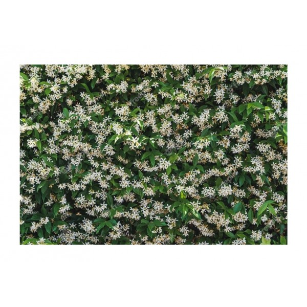 Trachelospermum Jasminoides - x1