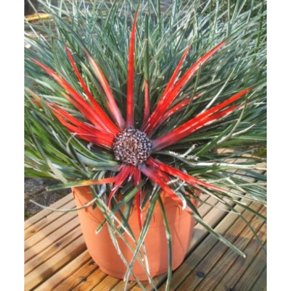 Fascicularia - Outdoor Bromeliad - F Bicolor - x1