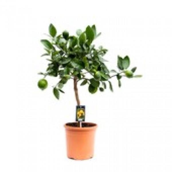 Citrus Vulcan Lime - x1