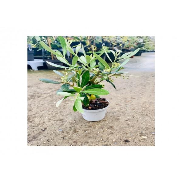 Mini Olive Tree - Olea Europea