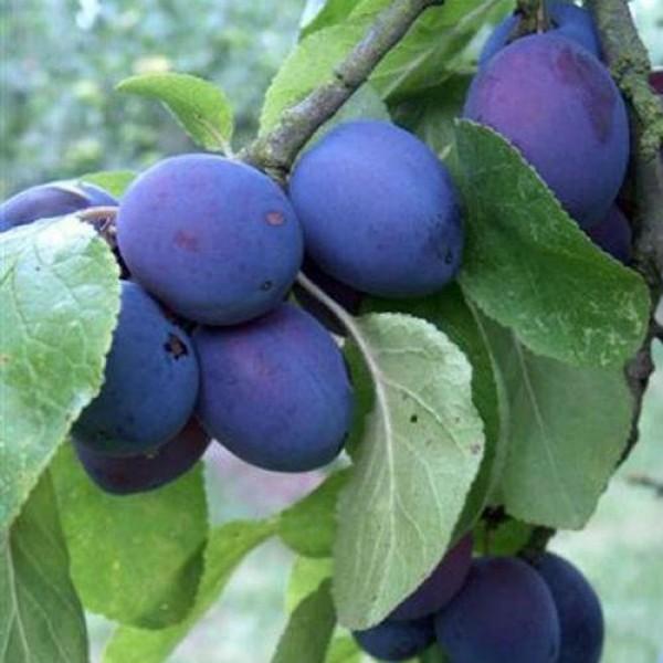 Plum - Prunus - Czar - x1