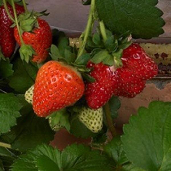 Strawberry Roman - Plug Plant x6