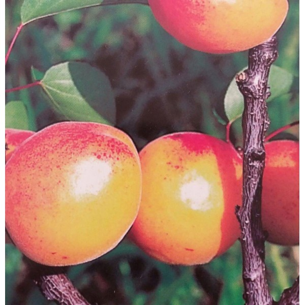 Nectarine - Prunus - Lord Napier - x1