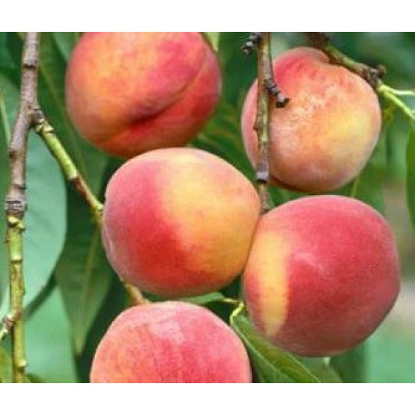 Peach - Prunus - Amsden June - x1