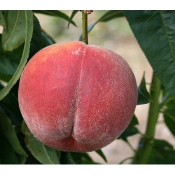 Peach - Prunus - Rochester - x1