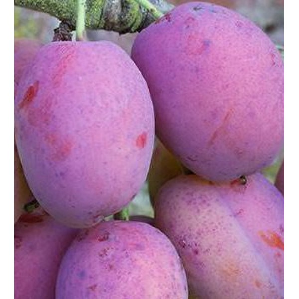 Plum - Prunus - Victoria - x1