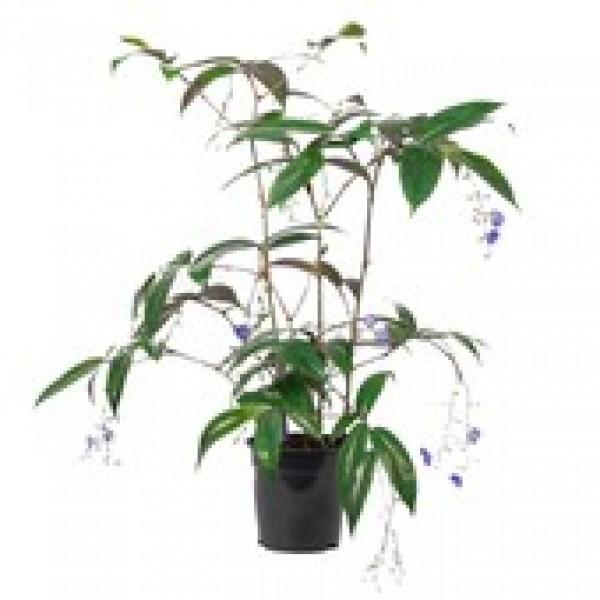 Dichorisandra Thyrsiflora Blue - Bamboo Blue - x1