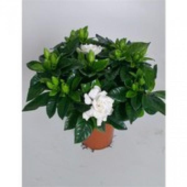 Gardenia Jasmioides - x1