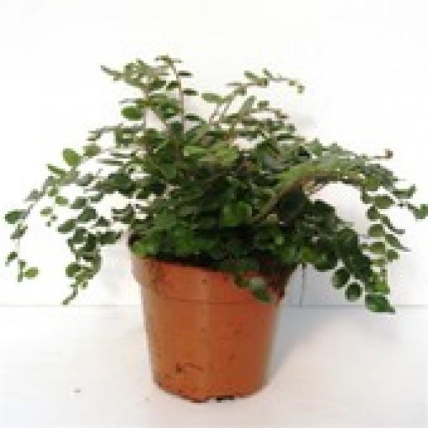 Pellaea Rotundifolia - x1