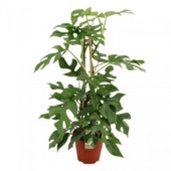 Philodendron Minima - x1