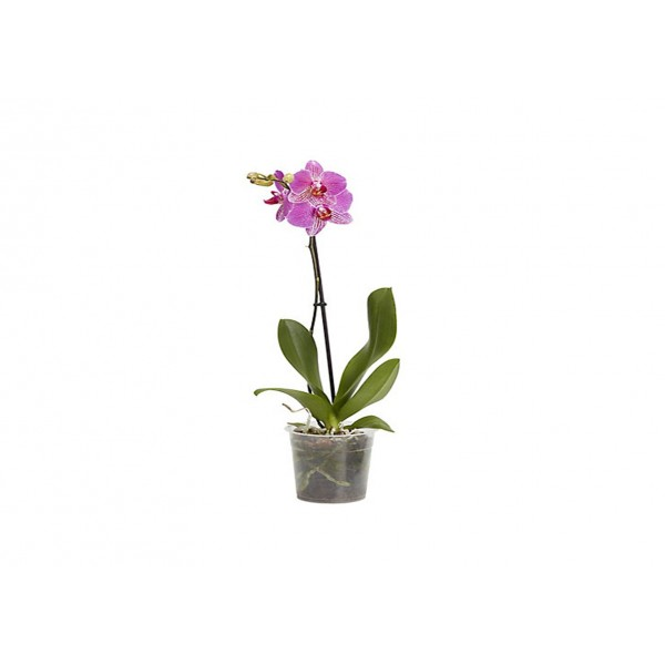 Orchid Special £3.75