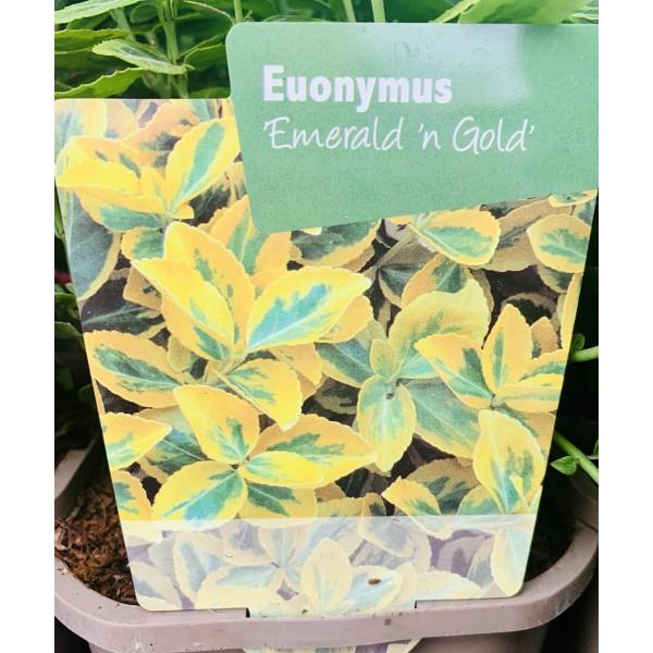 Euonymus 'Emeralds n Gold'