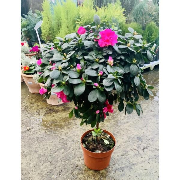 Azalea (Standard) Flowering