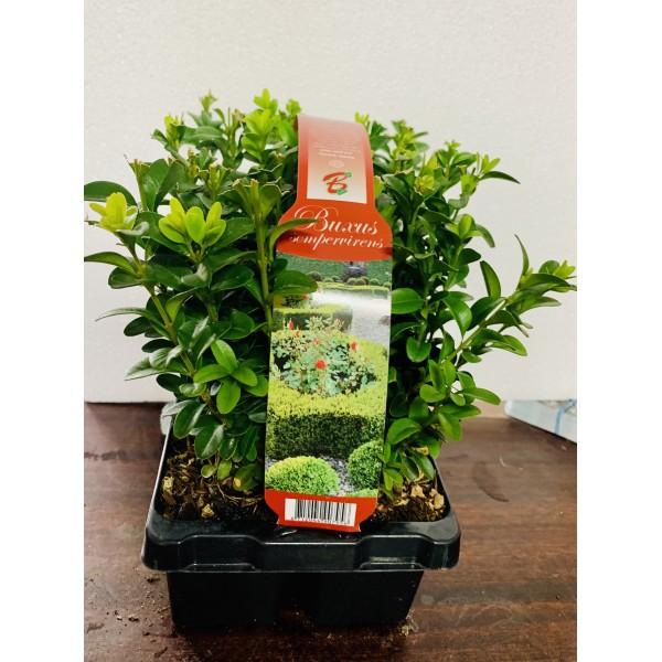 Buxus Sempervirens Potgrown - x6 pack