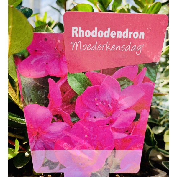Rhododendron 'Moederkensdag'