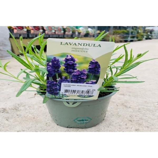 Lavender - 'angusttifolia' Hidcote - x1