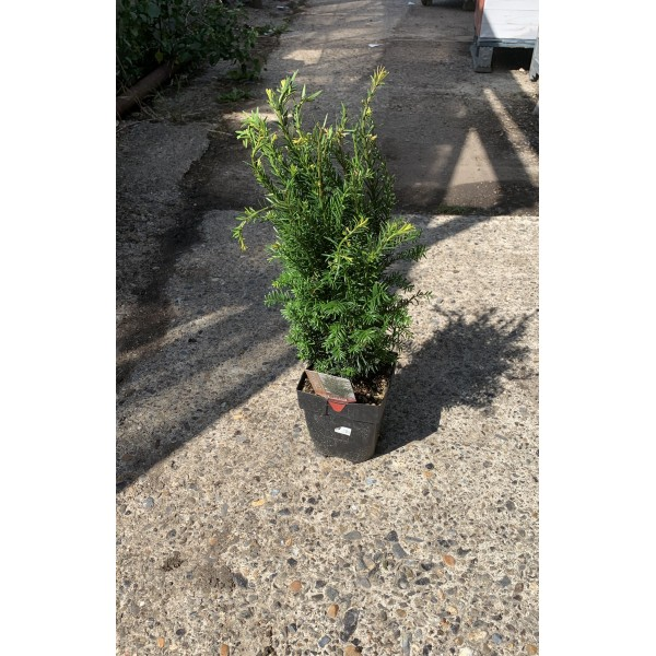 Conifer Shrub - Taxus - Baccata - x1
