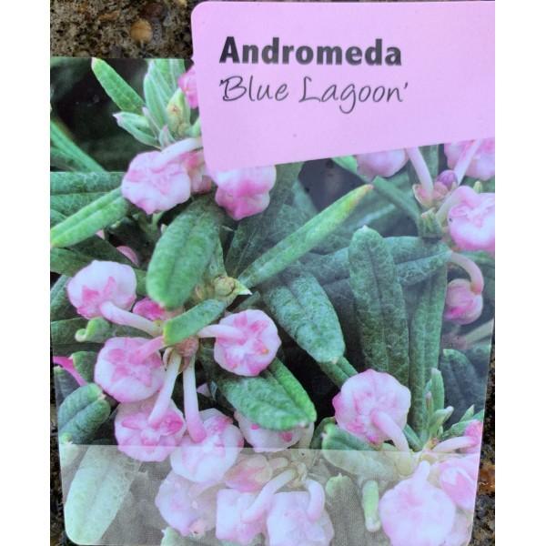 Andromeda Polifolia 'Blue Lagoon'