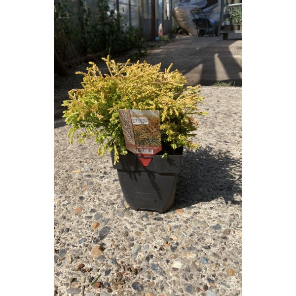 Conifer Shrub - Thuja - Occidentalis 'Golden Tuffett' - x1