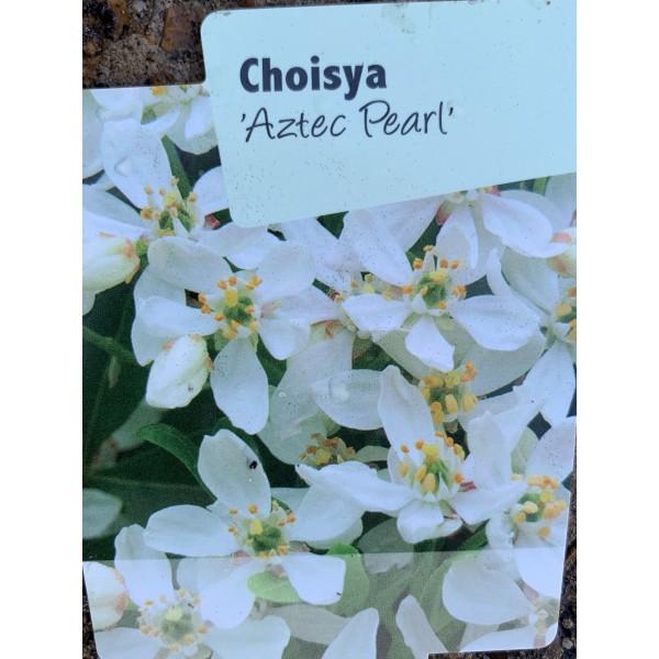 Choisya 'Aztec Pearl'