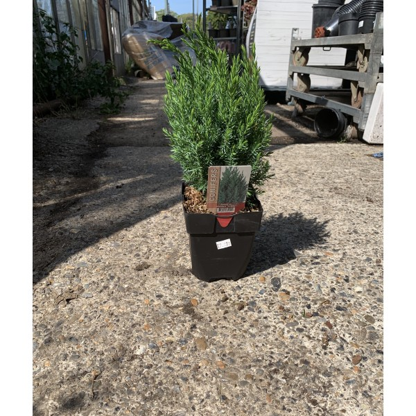 Conifer shrub - Juniperus - Chinensis 'Stricta' - x1