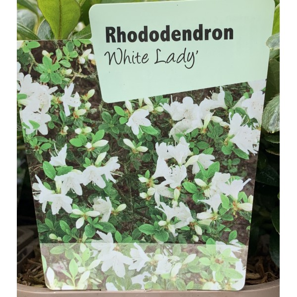 Rhododendron 'White Lady'