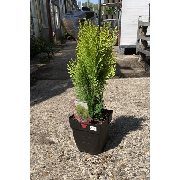 Conifer Shrub - Platycladus - Orientalis 'Aurea Nana' - x1
