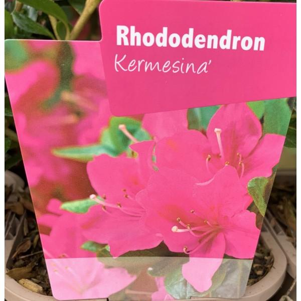 Rhododendron JA 'Kermesina'