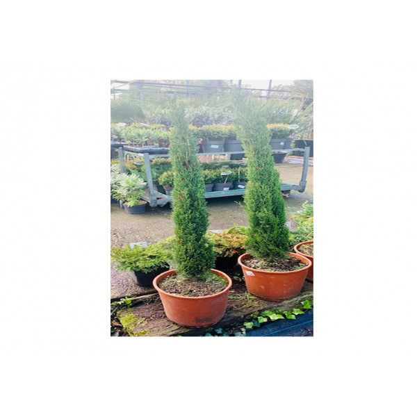 Conifer - Cupressus Pyamid