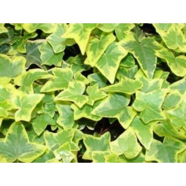 Ivy - Hedera - Climbing Trailing Perennial - Gold child -