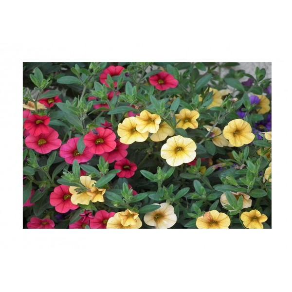 Plug plants - Million Bells (Calibrochoa) - Mxd - x6