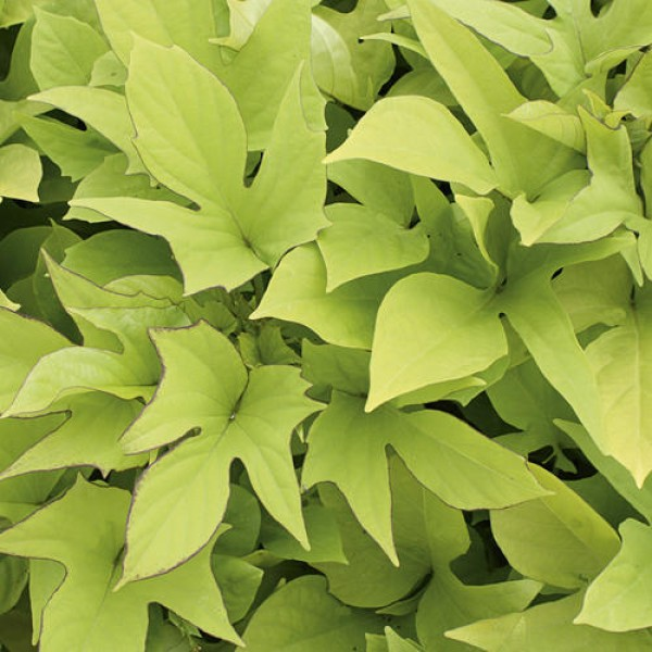 Plug plants - Ipomoea Mixed - Trailing - Sweet Caroline Green & Bronze - x6