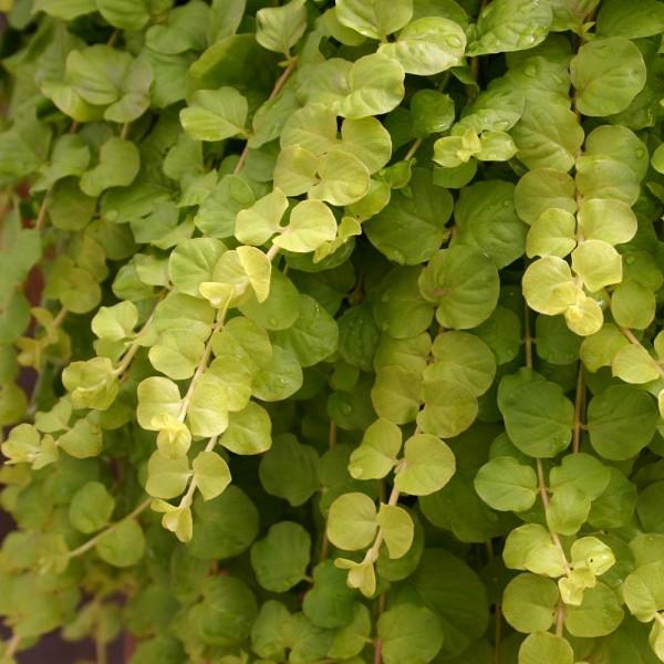 Plug plants - Lysimachia nummularia - Trailing - Goldilocks - x6